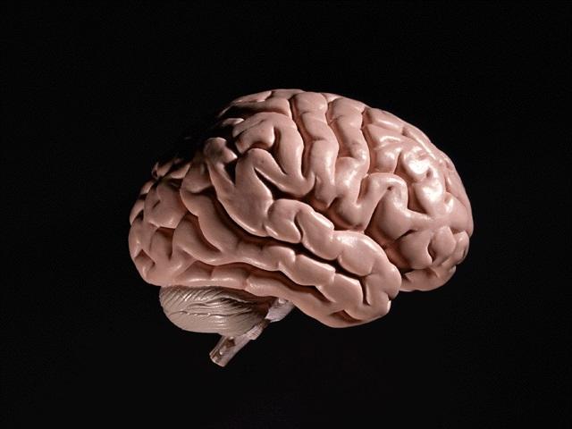 脳を側部から見た様子